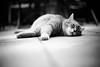 My friend simba the cat (Black&Light Streetphotographie) Tags: urban mono monochrome trier tiefenschärfe wow tier dof fullframe vollformat sony streets streetshots city