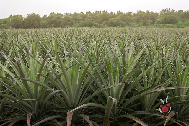 鳳梨、竹筍通通吃酵素長大,無農藥耕種 三竹居士 (7)