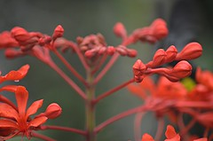 Face to face with Red! (jungle mama) Tags: glorybower red tropical shrub bud cluster susanfordcollins biscaynepark