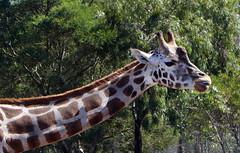 A Cheeky Giraffe (The Pocket Rocket, On and Off.) Tags: giraffe werribeeopenrangezoo werribee victoria australia