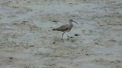 Regenbrachvogel (Numenius phaeopus) (fotoculus) Tags: regenbrachvogel numeniusphaeopus algave portugal riaformosa ludo vögel aves birds