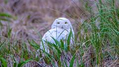 Snowy Owl - Duxbury - 5-18-18-7 (McDonaldMorgans) Tags: duxburybeach gurnetroad snowyowl willet commoneider mourningdove