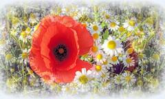 Fragile bellezza * Fragile beauty * (argia world 1) Tags: prato meadow papaveri poppies camomilla camomile fiori flowers fiorispontanei spontaneousflowers macro argiagranuzzo