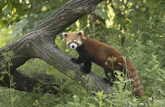 China (richard.mcmanus.) Tags: china panda redpanda mammal animal wildlife mcmanus 中國