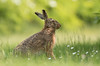 Back yard Brown Hare (Wouter's Wildlife Photography) Tags: brownhare hare lepuseuropaeus animal mammal rodent nature naturephotography wildlife wildlifephotography billund garden yard denmark springtime spring grass explore