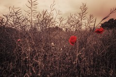 Red... (hobbit68) Tags: flowers blumen red rot himmel sky clouds wolken