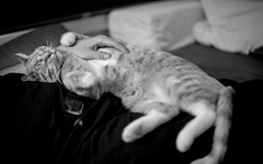 Traitor! (Eddy Summers) Tags: cat catsofflickr meow moggy betryal monochrome fa50mm14 pentaxk1 pentax pentaxaustralia ginger gingercat gingertabby tentpant