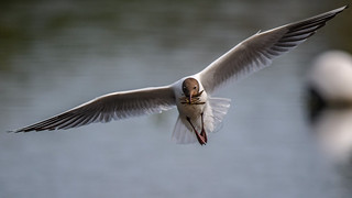 black headed gull with sticks