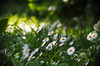 The small ones (Jens III) Tags: blume köln nice macro macrodreams garten flower park sonyalpha6000 makro volna9 vitage vintagelens sony colour nature outside bokeh natur flickr summer sunny sun