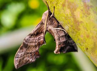 Eyed Hawkmoth - Smerinthus ocellata