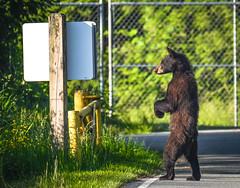 I don't understand sign language (wesleybarr1962) Tags: blackbear ursusamericanus black bear standing