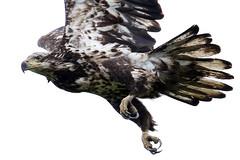 What nail salon do you use?...6O3A2462A (dklaughman) Tags: juvenile eag baldeagle bombayhookwildliferefuge delaware