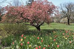 Sherwood Gardens ~ Crabapple & Tulips (karma (Karen)) Tags: baltimore maryland sherwoodgardens parks gardens flowers tulips trees blossoms crabapple htmt topf25