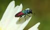 9820 Anthaxia scutellaris (jon. moore) Tags: anthaxiascutellaris buprestidae jewelbeetle coleoptera portugal algarve malhadadesantamaria