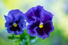 panzy 4455 (junjiaoyama) Tags: japan flower plant panzy purple spring macro bokeh