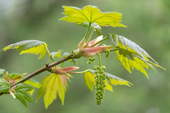 Sycamore (Acer pseudoplatanus) tree in flower (Ian Redding) Tags: spring flowers nature european panicles britain uk acerpseudoplatanus sycamore woodland leaves maple acer wildlife tree flora monoecious british fresh nectar green pollen plant hanging flowering bath