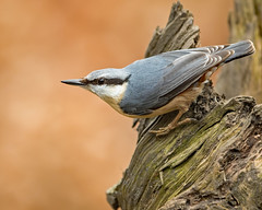 Nutty... (coopsphotomad) Tags: nuthatch bird wildlife nature grey blue orange wood perch animal bokeh canon 1dx outdoor woodland stump feathers detail