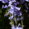 Bluebells close-up 1 (deeceei3) Tags: 2018 shadows softfocus spring uk bluebells woods flowers canon5dmk2 sigma150500