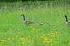 Follow the leader (deanrr) Tags: birds geese canadageese goslings morgancountyalabama alabama alabamanature spring 2018 flowers wildflowers yellowflowers yellow green fieldofflowers family