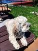 Not quite pool weather. (PEEJ0E) Tags: sunshine backyard chair adirondack fence pool swimming rescue spring mutt dog maltese rusty
