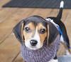Puppy face (GBaker63) Tags: dog puppy beagle olympus em1markii
