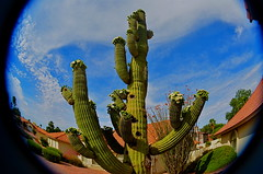 Yearning Curve (MPnormaleye) Tags: saguaro succulent flowers floral blossom buds fisheye lensbaby curved round