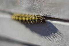 Caterpillar. (agnieszka.a.morawska) Tags: macroeconomic manualfocus manuallens helios helios44m bkhq beyondbokeh bokehlicious bokeh dof cień shadow caterpillar gąsiennica