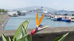 Oiseau du Paradis - Ponta Delgada, Açores, Portugal - 5914 (rivai56) Tags: pontadelgada açores portugal pt flower port oiseauduparadis cruise norwegianjade croisière