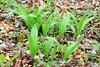 wild leeks (Allium tricoccum) at Cardinal Marsh IA  854A9112 (lreis_naturalist) Tags: wild leeks allium tricoccum edible cardinal marsh winneshiek county iowa larry reis