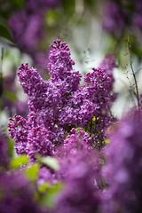 Flieder  //  Lilac (Martin Bärtges) Tags: sunshine sonnenschein sun sonne frühling farbenfroh nikonfotografie nikon naturfotografie naturephotography nature spring flowers colorful lilac