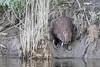 20180507-Flickr-0008 (Iris Harm Fotografie) Tags: bever beaver ed willem iris harm fotografie natuur outside nature outdoor buiten water biesbosch knagen geur afzetten tanden