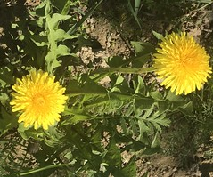 Moscow, spring (shustasch) Tags: flowers spring moscow dandelion