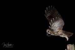 Tawny Owl (Ian howells wildlife photography) Tags: ianhowells ianhowellswildlifephotography inflight nature nationalgeographic naturephotography unitedkingdom wildlife wales wildlifephotography wild wildbird wildbirds tawnyowl tawny owl