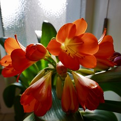 Orange Lilly. (awphoto3) Tags: lilly flower orange plant