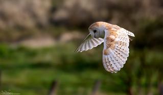 Barn Owl Hunting The Dunes