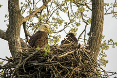Watching over the nest.... (Kevin Povenz Thanks for all the views and comments) Tags: 2018 may kevinpovenz westmichigan michigan ottawa ottawacounty ottawacountyparks grandravinesnorth baldeagle bird birdsofprey birds eaglet eagle sitting nest tree watching nature wildlife outside outdoors canon7dmarkii sigma150500 morning early earlymorning daybreak