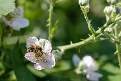 Busy as a bee (Thomas Wyser) Tags: bees bee fuji fujixh1 fujifilm animals insects spring allschwil switzerland nature flowers