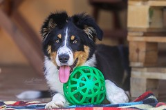puppy of Border Collie (Irena Rihova) Tags: dog dogs animal animals pet puppy ball game playing laying tongue