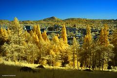 Veiw from skinner butte of Eugene - Infrared (JSB PHOTOGRAPHS) Tags: dsc576300001 copy infrared skinnerbutte eugeneoregon colorswap colorphotography trees nikon d70 1870mm
