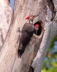 Pileated woodpecker nest (Rickfans76) Tags: pileatedwoodpecker woodpecker birds animals rickfanslerphotography nikond500 red nest tree florida dunedin hammockpark nature wildlifephotography wildlife