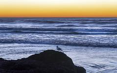 Sunset in Yachats (acase1968) Tags: oregon coast seagull seabird pacific ocean nikon sea bird yachats d750 nikkor 24120mm f4g