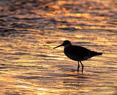 Rhythm of Water (dianne_stankiewicz) Tags: coastal beach bird tide ocean sea water sunrise rhythm