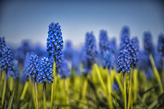 The blue army (Wim van de Meerendonk, loving nature) Tags: muscaribotryoides flower flowers zwartemeerweg macro blue netherlands nederland noordoostpolder outdoors outdoor sony thenetherlands wimvandem golddragon beautifulearth