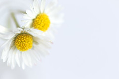 119/365: Two of a kind (judi may) Tags: 365the2018edition 3652018 day119365 29apr18 april2018amonthin30pictures highkey daisies twoofakind negativespace white whitebackground whiteonwhite yellow macro petals canon7d depthoffield shallowdepthoffield dof bokeh closeup