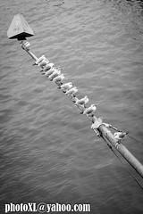 gavines (_perSona_) Tags: alemania alemanya germany deutschland gaviota gavina seagull river rio riu frankfurt main meno water agua aigua