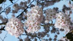 Spring blossom (EvelienNL) Tags: flowers blossom blooming tree fruit spring fruitblossom blossoming flowering white bloemen bloesem fruitbloesem lente voorjaar boom bomen wit witte branch twig tak bloesemtak cherryblossom cherry kersenbloesem kers kersen