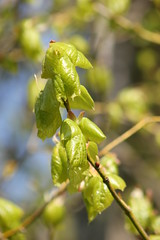Lime leaves (ekaterina alexander) Tags: lime leaves linden tree branches branch spring tilia europaea ekaterina alexander nature photography pictures england sussex