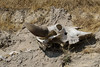deaths head (guilletho) Tags: craneo bone huesos nature skull canon mexico knochen animal