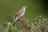 Grasshopper Warbler (Simon Stobart (Catching Up and Editing)) Tags: grasshopper warbler locustella naevia bush northeast england uk naturethroughthelens coth5