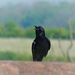 Calling crow thumbnail
